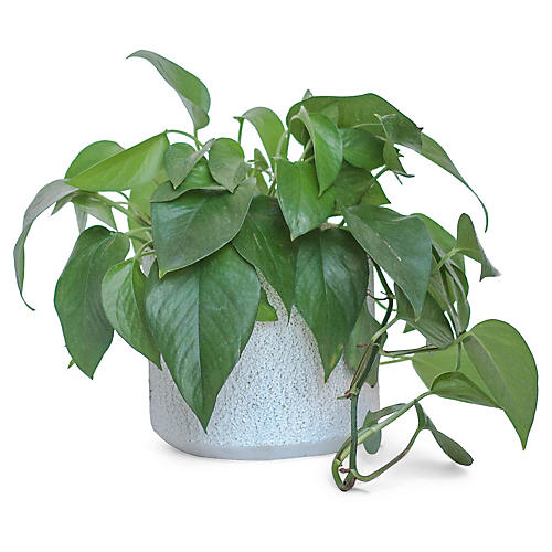 Jade Pothos Plant w/ Cylindrical Pot, Live