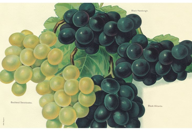 S/6 Grape Place Mats