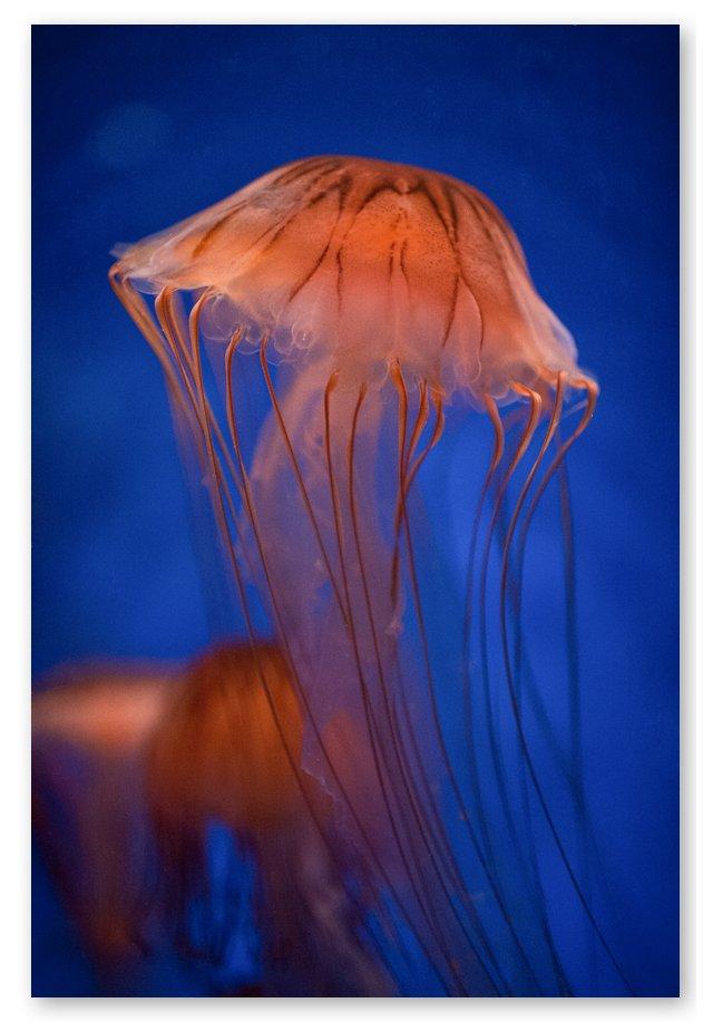 Steve Gorman, Jellyfish XXIV
