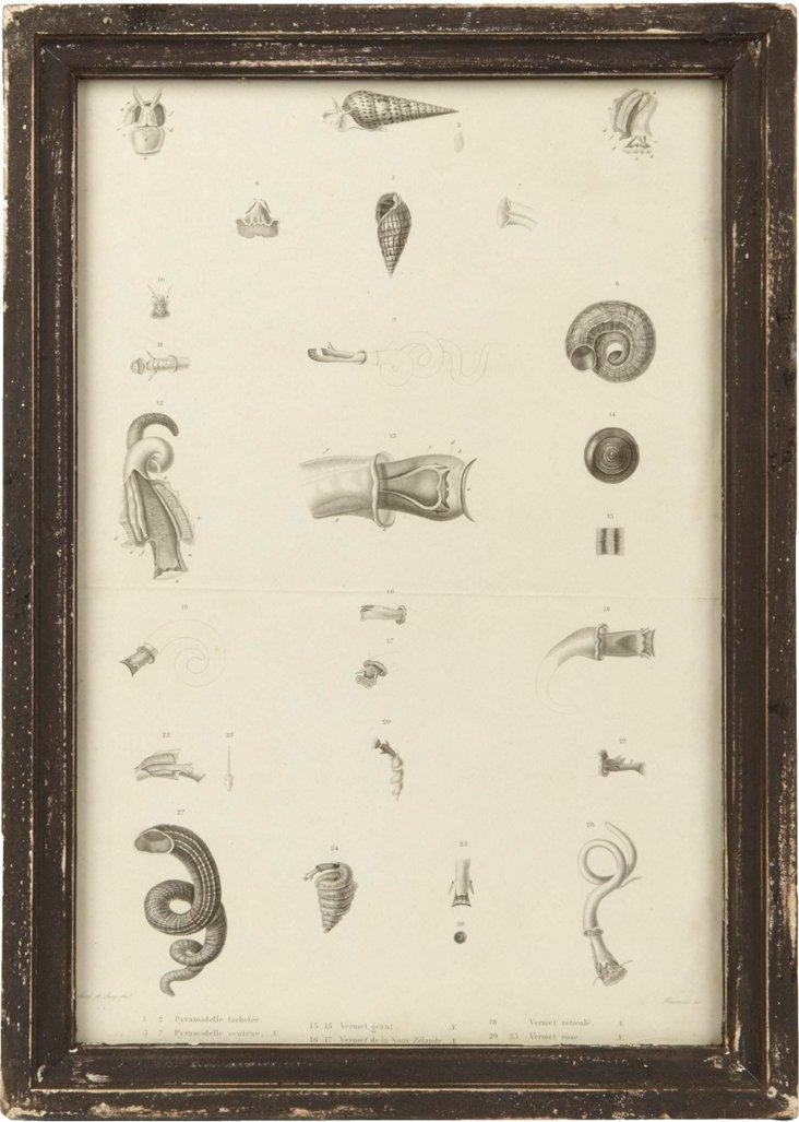 Framed Nature Print, Pyramidelle/Vermet