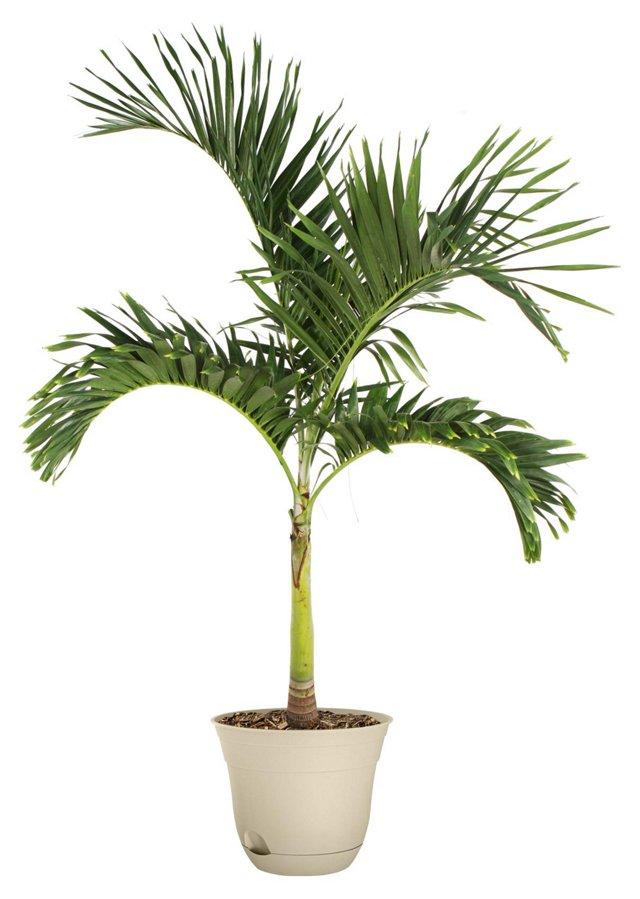 "60"" Classic Palm Tree, Live"