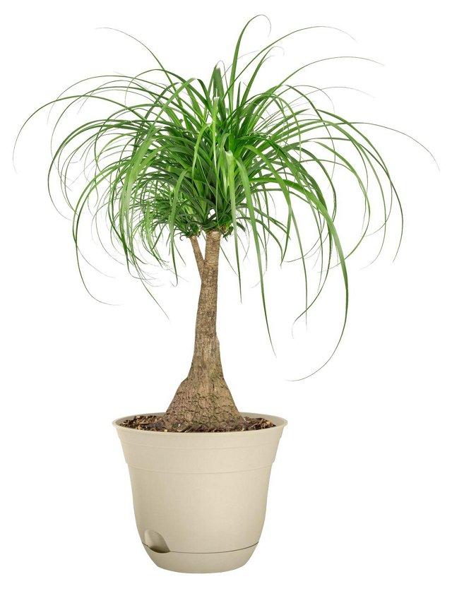 "36"" Ponytail Palm Tree, Live"
