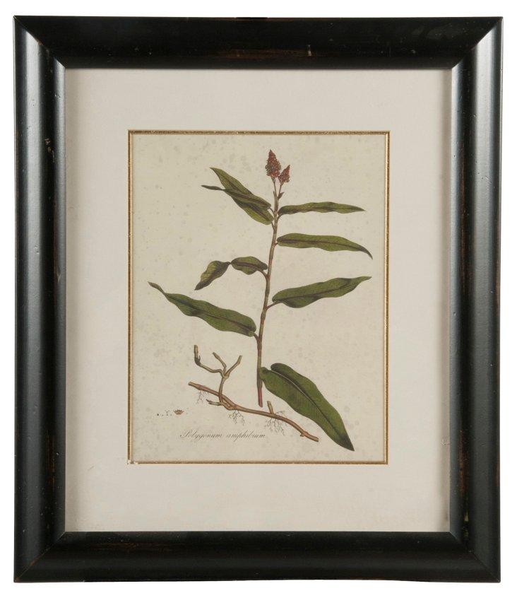 Curtis Flore Londinensis Print II