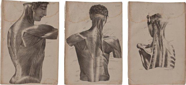 Musculature Prints, Set of 3