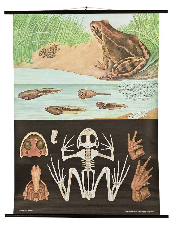Zoological Chart, Frog