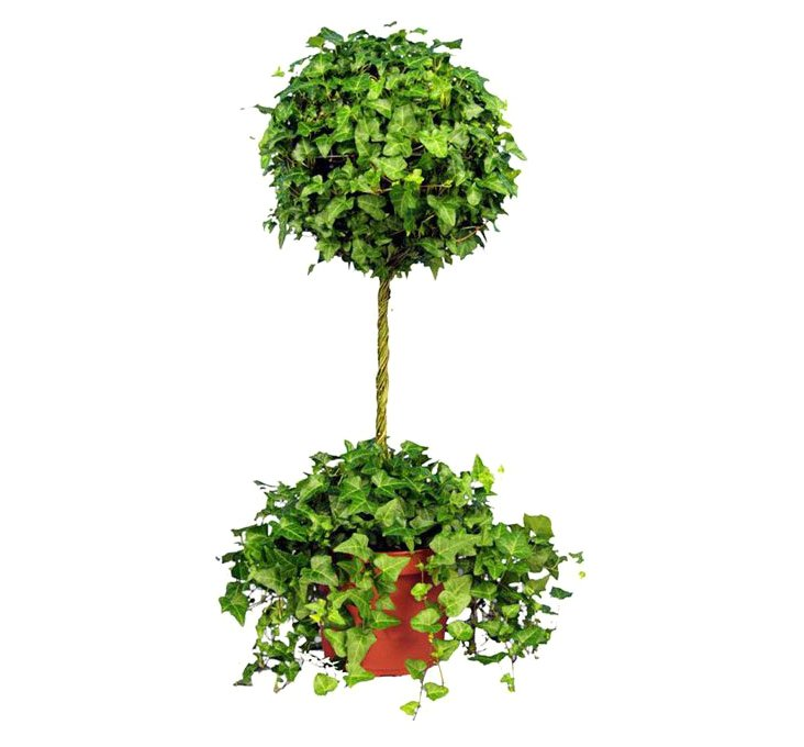 """36"""" Ivy Topiary in Pot, Live"""