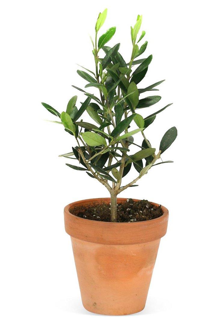 """10"""" Olive Tree in Pot, Live"""