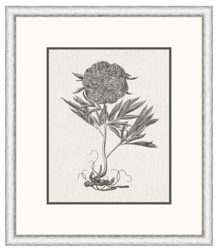 Paeonia Flore