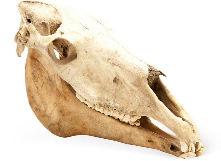 Large Horse Skull