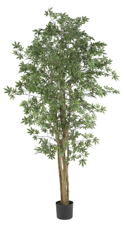 6' Japanese Maple Tree