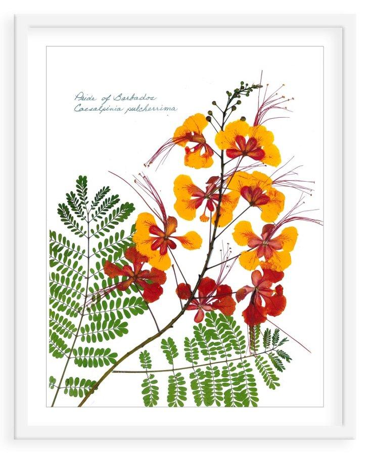 Flat Flower, Pride of Barbados