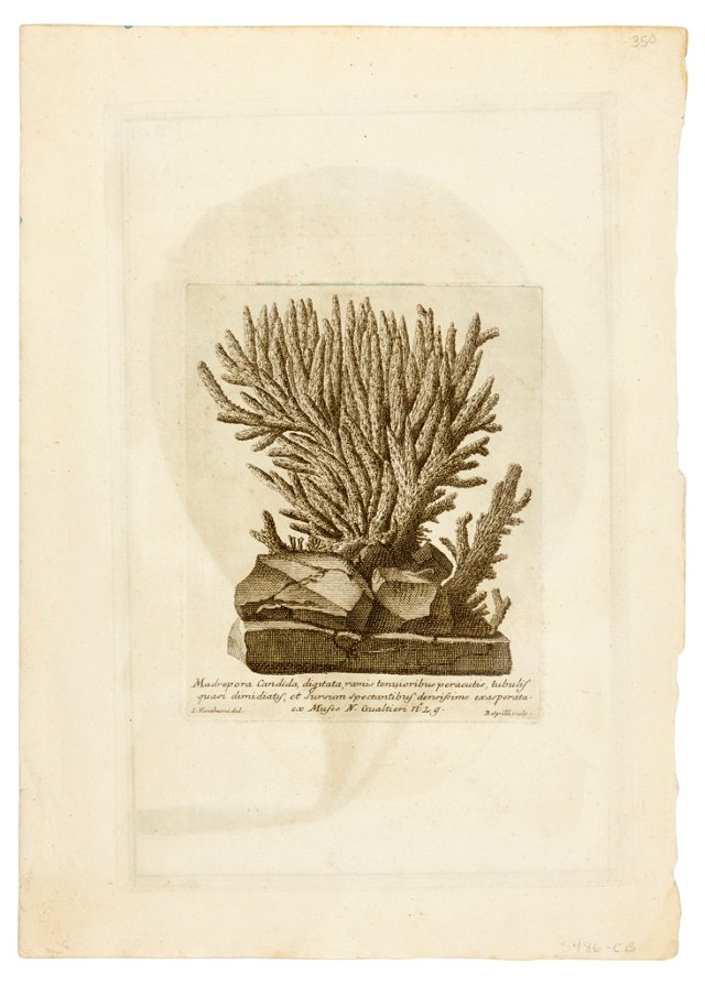 18th-C. Coral Engraving II
