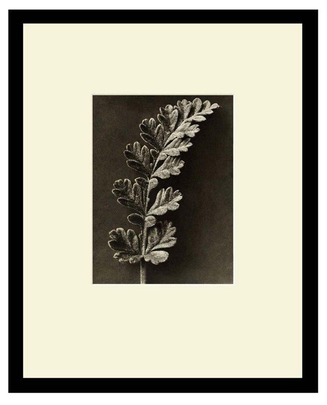 Storksbill, Young Leaf