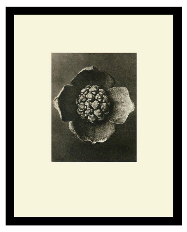 #42 Flowering Dogwood, Capitulum