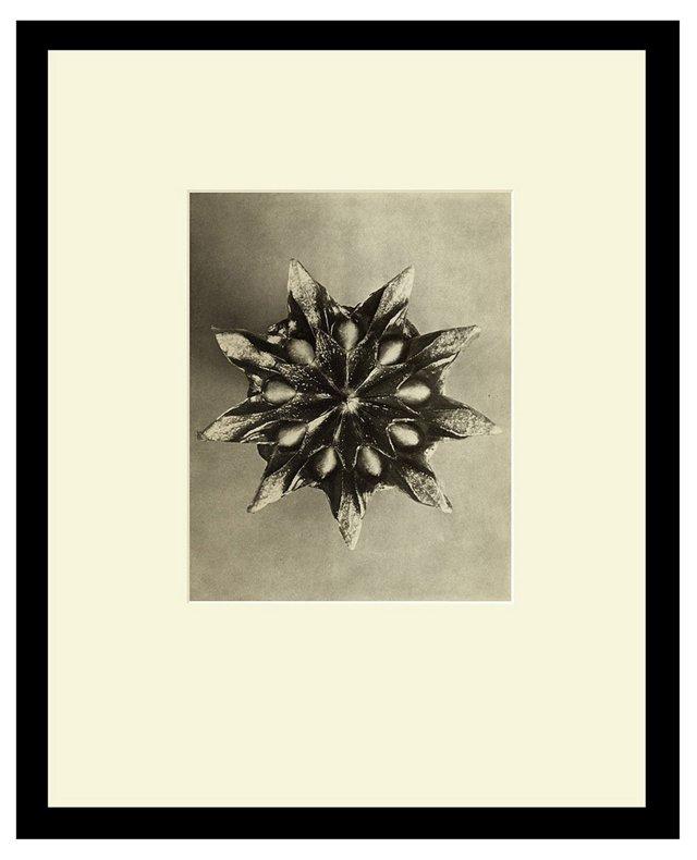 #16 Mesembryanthemum, Seed Capsule