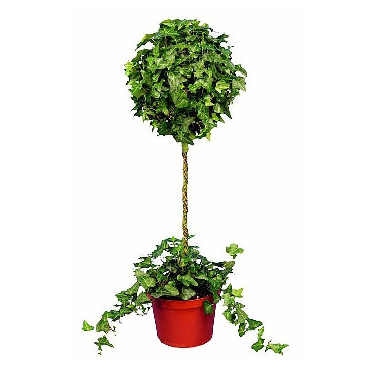"49"" Ivy Topiary in Pot"