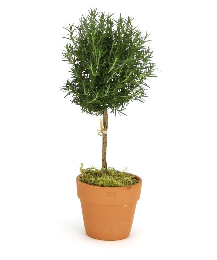 "18"" Rosemary in Pot, Live"