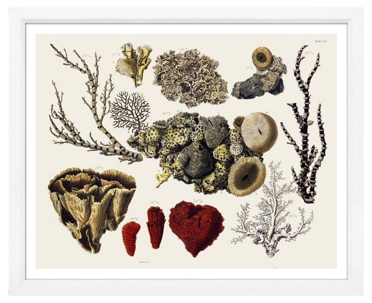 Seba Corals IV