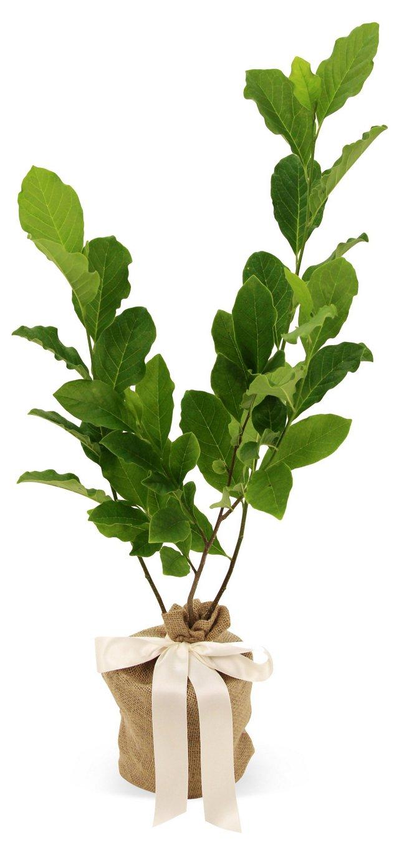 "18"" Magnolia Ann Tree, Live"