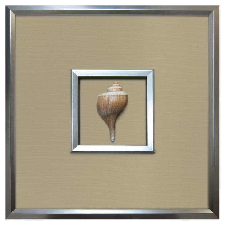 Authentic  Channel Whelk Shell Framed