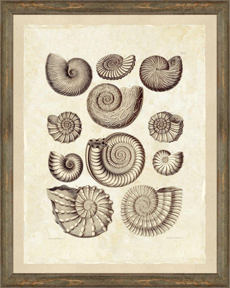Sepia Shells Print I