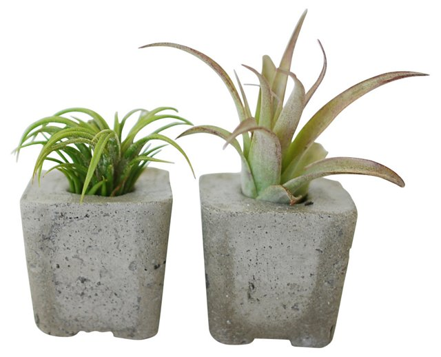 "S/2 2"" Square Air Planters w/ Air Plants"