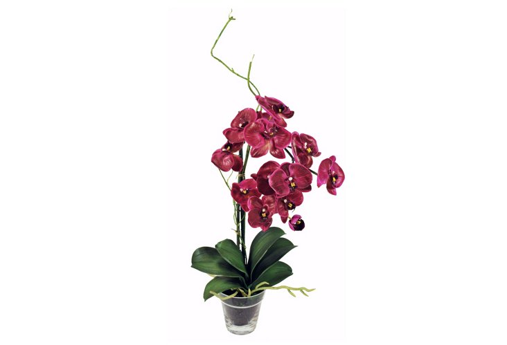 Phalaenopsis in Glass Vase, Fuchsia