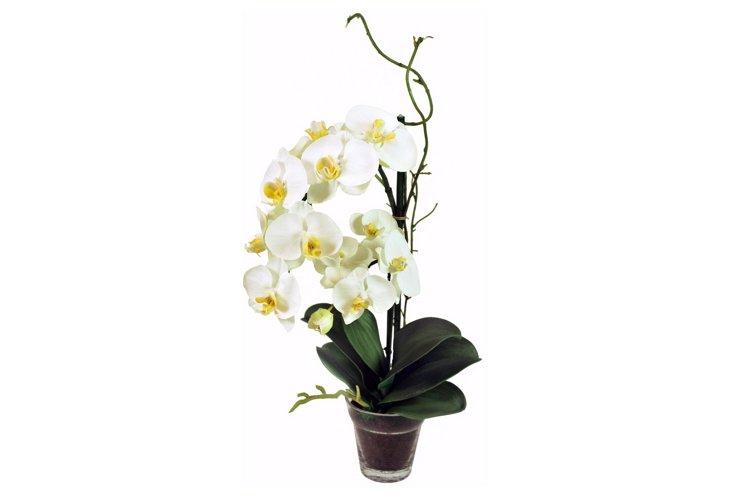 Phalaenopsis in Glass Vase, White