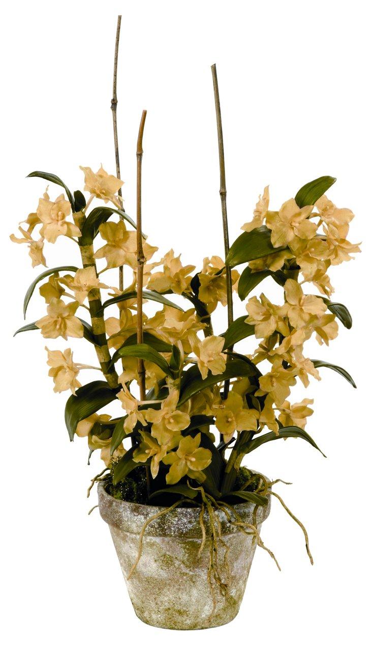 Dendrobium Orchid in Pot, Medium