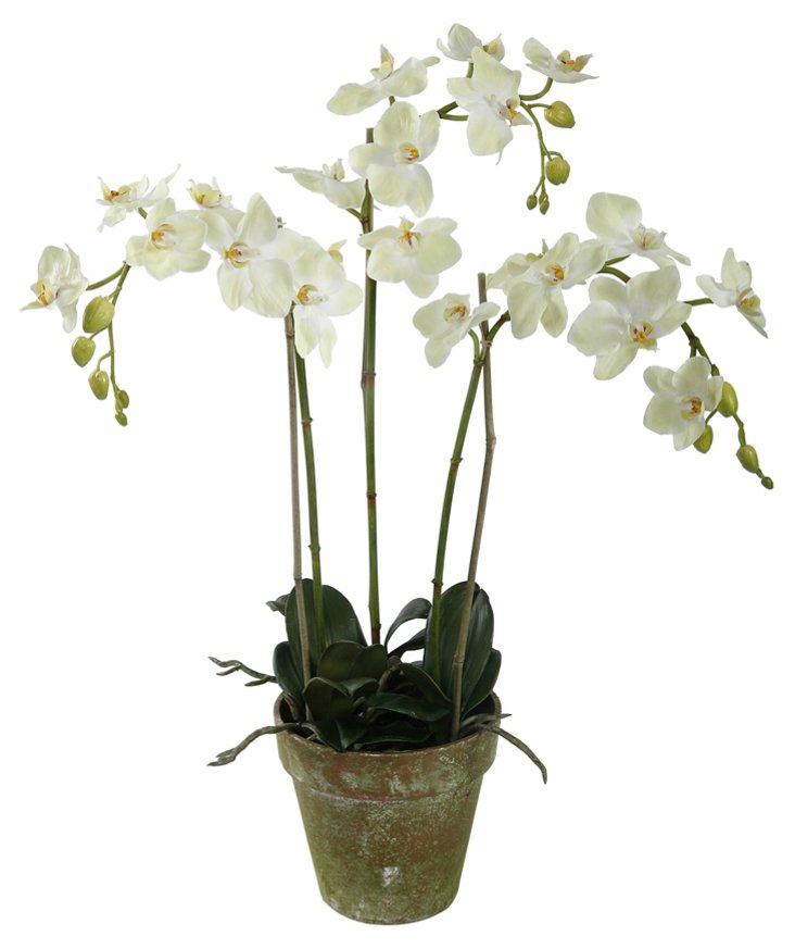 """27"""" Phalaenopsis in Pot, Light Green"""