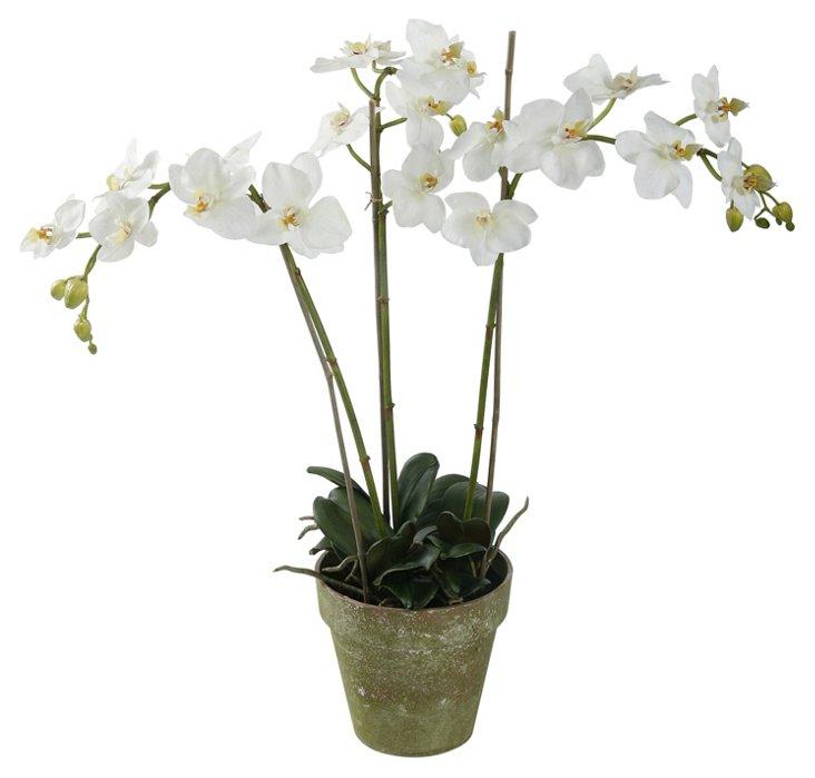 "27"" Phalaenopsis in Planter"