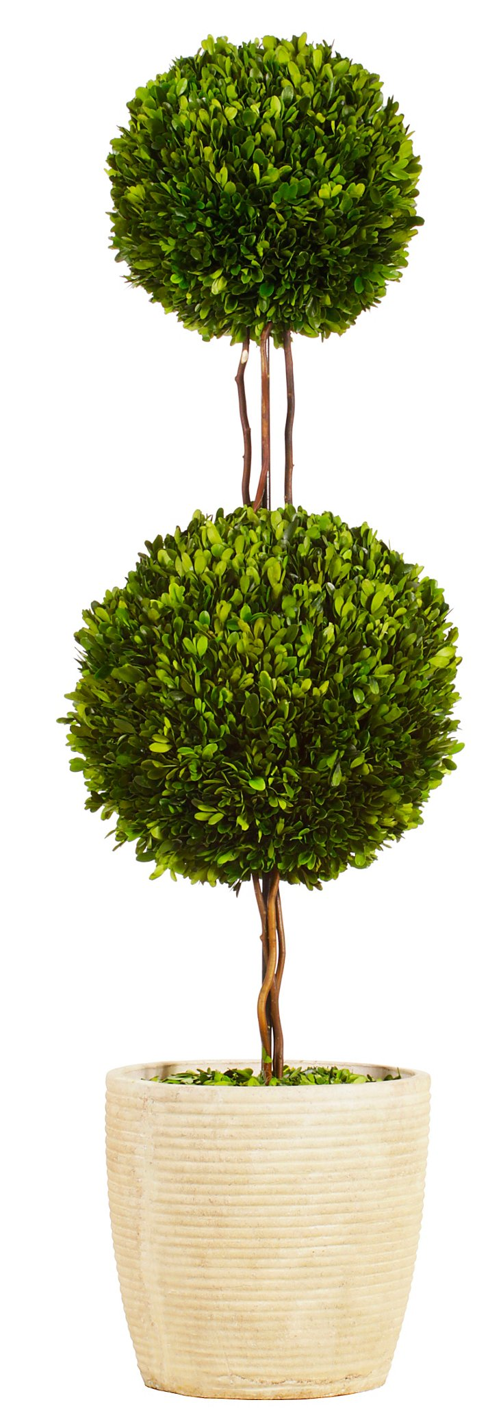 4' Double Topiary in Planter, Preserved