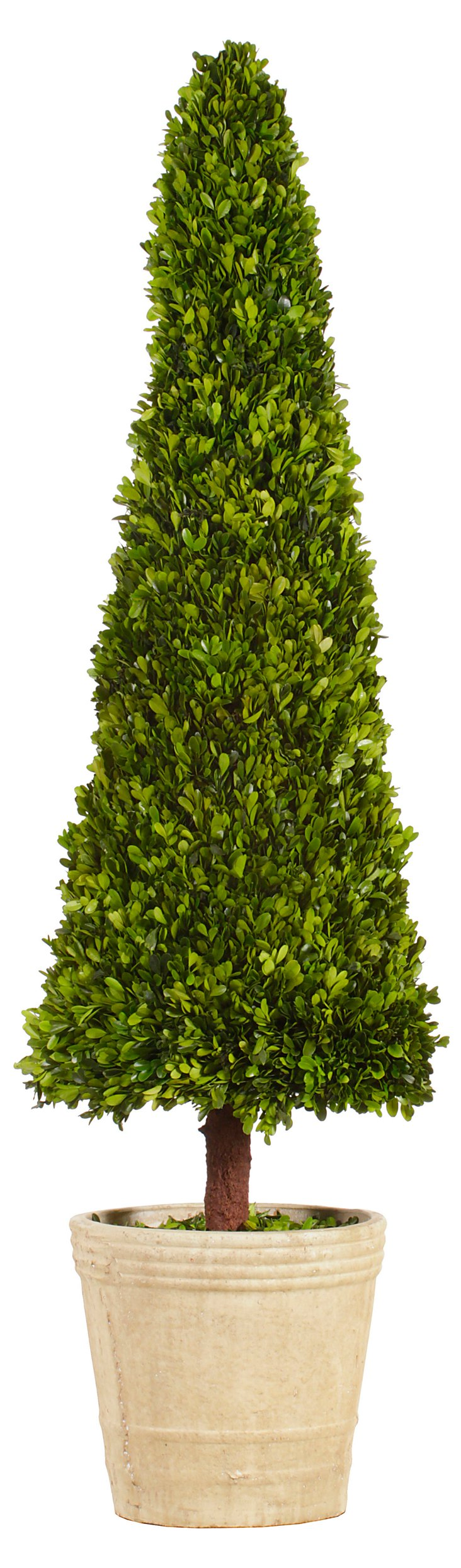 5' Boxwood Topiary in Pot, Preserved