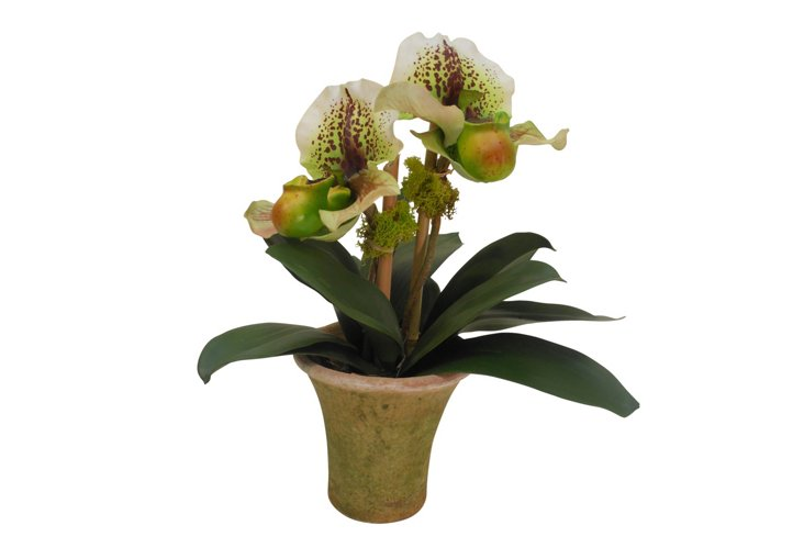 Full Moon Orchid in Moss Pot, Green