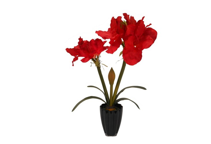 Red Amaryllis in Black Container