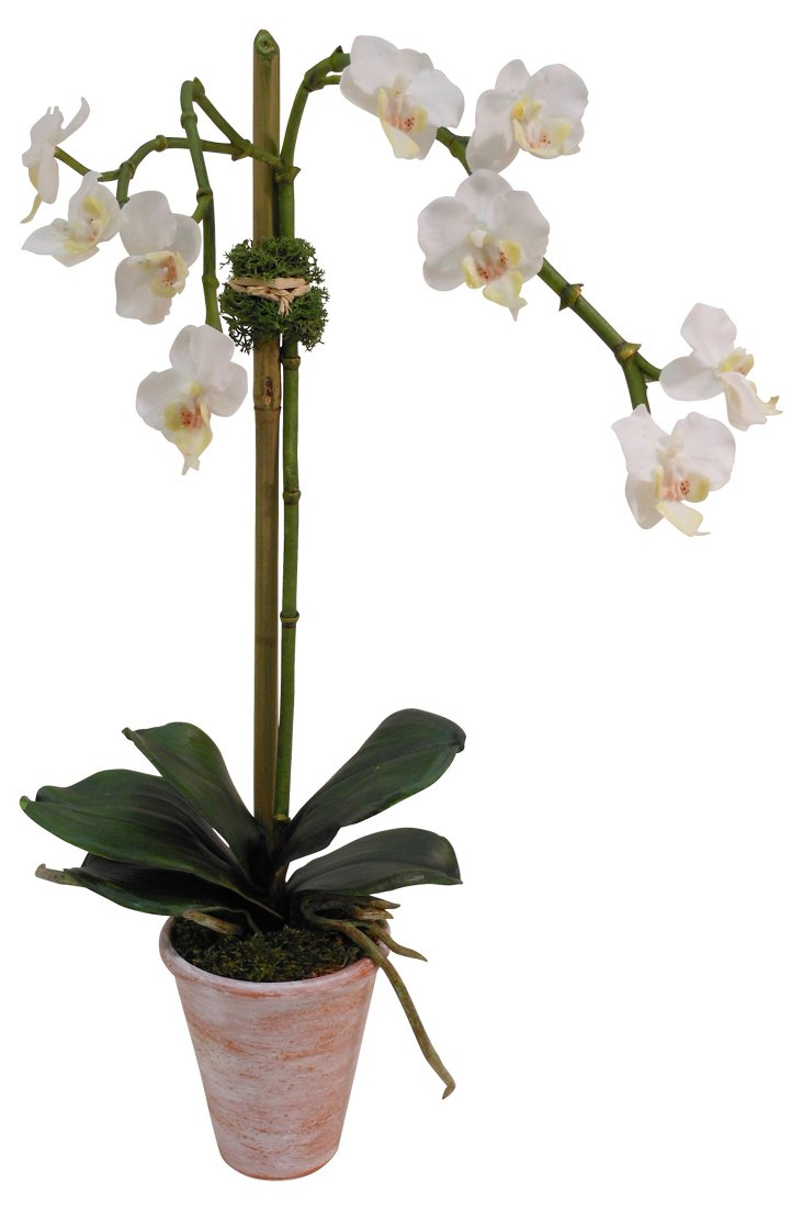 "19"" Phalaenopsis in Pot, White"