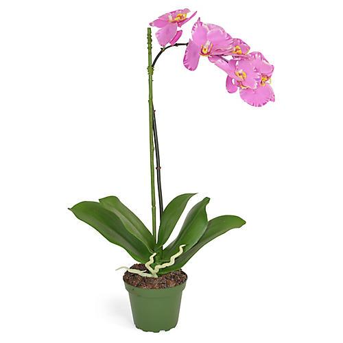"""19"""" Phalaenopsis Orchid Arrangement, Faux"""