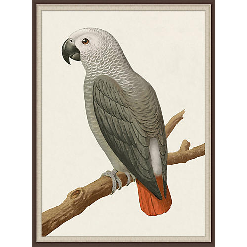Gray Parrot 2, Lillian August
