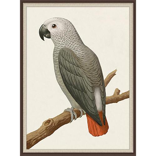 Gray Parrot 2, Lillian August