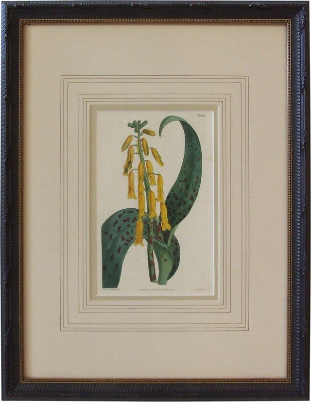 Lachenalia, Curtis Engraving, 1816