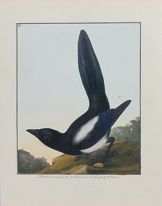 Bird  by  W. Lewin, 1789