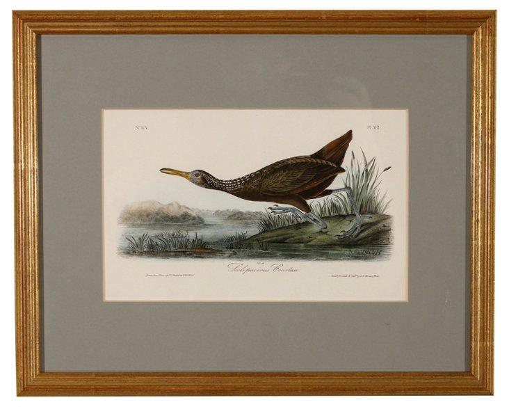 Scolopaceus Courlan Print by Audubon