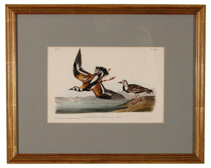 Audubon Turnstone