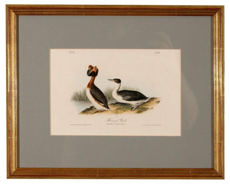 Audubon Horned Grebe Print