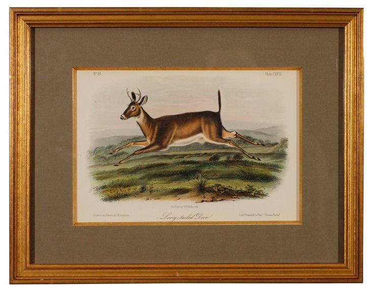 Long   Tailed    Deer