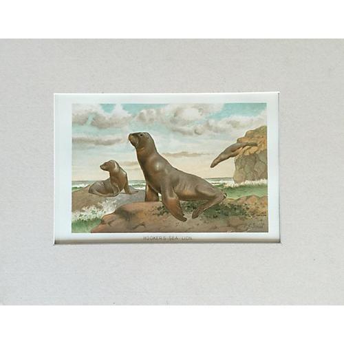Antique Hookers Sea Lion Lithograph