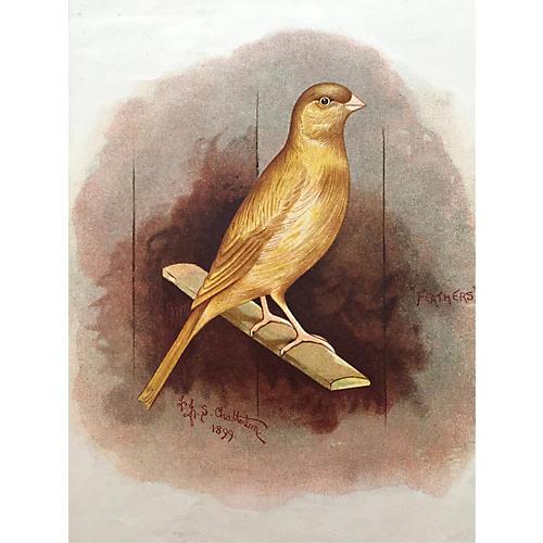 Antique Lithograph Cinnamon Canary, 1898