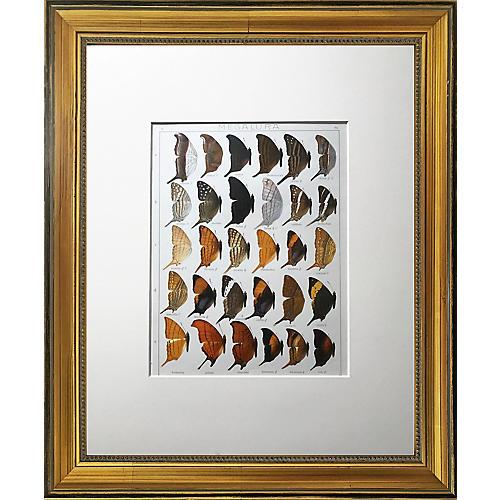 Antique Butterfly Specimen Lithogaph