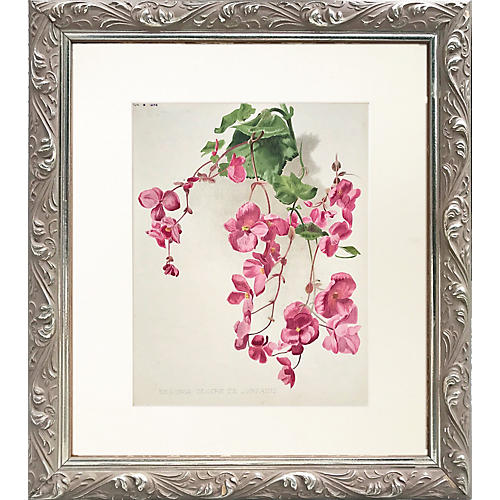 19th C English Botanical Print Begonias