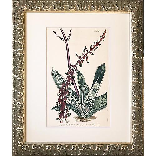 19th-C. Curtis Botanical Engraving